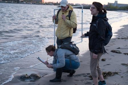 Volunteers Counting Horseshoe Crabs, Photo by Tracy Pennoyer