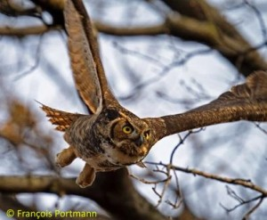Great Horned Owl © Francois Portmann