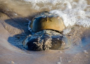Horseshoe Crabs Spawning at Plumb Beach © Jennifer Kepler