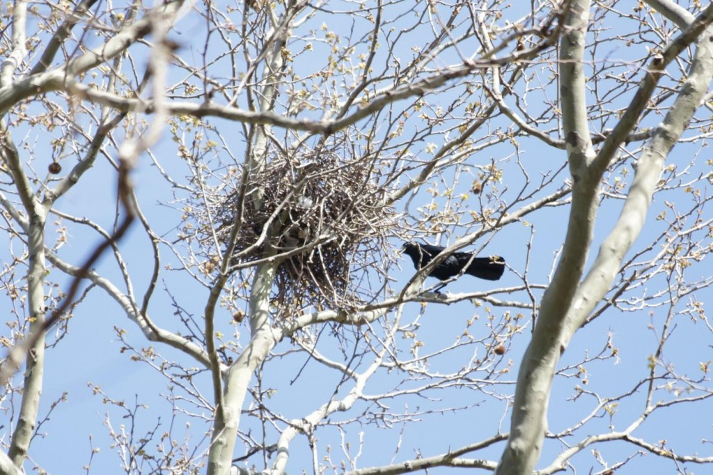 Fish crow at its McGolrick Park nest in April, 2016