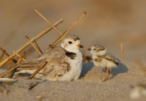 Piping Plovers © Francois Portmann