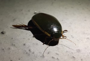 Predaceous Diving Beetle Seen at Tribute in Light 2017